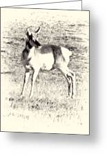 Pronghorn Angelope Greeting Card