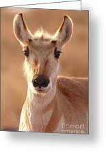 Pronghorn Antelope Doe In Soft Light Greeting Card