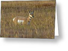 Pronghorn At Golden Hour Greeting Card