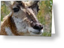 Pronghorn Buck Face Study Greeting Card