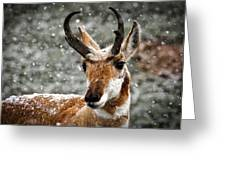 Pronghorn Buck In Snow - Yellowstone National Park Greeting Card