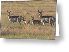Pronghorn Fawns And Their Mothers Greeting Card