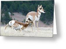 Pronghorn Feeding Greeting Card