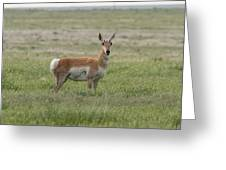 Pronghorn On The Plains Greeting Card