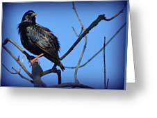 Puffed Up Starling Greeting Card