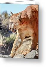 Puma Mountain Lion Nature Wear Greeting Card
