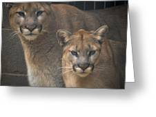 Puma Pair Greeting Card