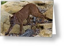 Puma Stalking Greeting Card