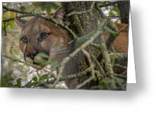 Puma Stalking Greeting Card