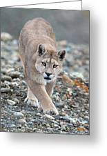 Puma Walk Greeting Card