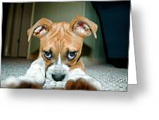 Puppie Dog Eyes Greeting Card by Maureen Norcross