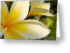 Pure Beauty Plumeria Flowers Greeting Card