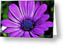 Purple African Daisy Greeting Card