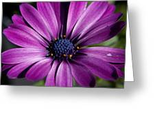 Purple African Daisy Greeting Card by Robert  Torkomian