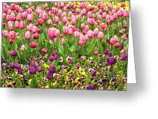 Purple And Pink Tulips In Canberra In Spring Greeting Card