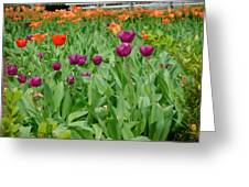 Purple And Red Tullips Greeting Card
