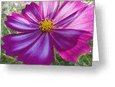 Purple And White Cosmos Greeting Card