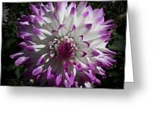 Purple And White Dahlia Greeting Card
