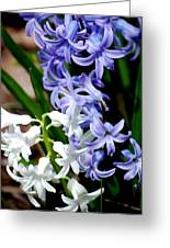 Purple And White Hyacinth Greeting Card