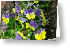 Purple And Yellow Pansies Greeting Card