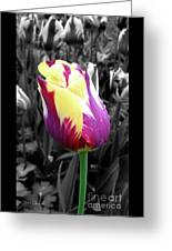 Purple And Yellow Tulip Greeting Card