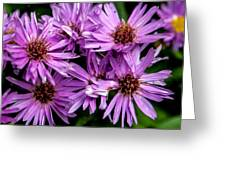 Purple Aster Blooms Greeting Card