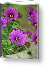Purple Aster Flowers Greeting Card