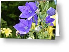 Purple Balloon Flower Greeting Card