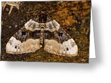 Purple Bar Cosmorhoe Ocellata Greeting Card