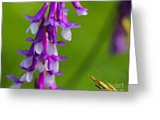 Purple Bird Vetch Plant  Greeting Card