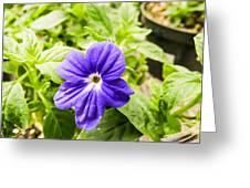 Purple Browallia Flower Greeting Card