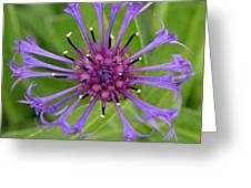 Purple Centaurea Montana Flower Greeting Card