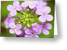 Purple Circle Of Dames Rocket Phlox In Spring Garden Greeting Card
