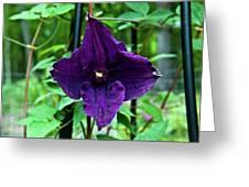 Purple Clematis Henryi Greeting Card