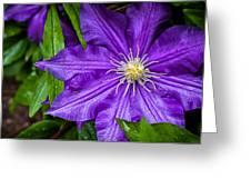 Purple Clematis Greeting Card