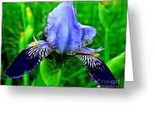 Purple Coated Iris Greeting Card