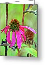Purple Coneflower Along White Pine Trail In Kent County, Michigan  Greeting Card