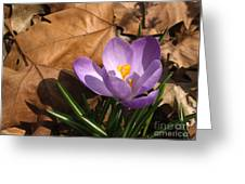 Purple Crocus In Dried Leaves Greeting Card