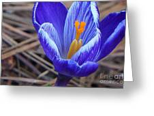 Purple Crocus Greeting Card