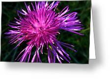 Purple Dandelions 4 Greeting Card