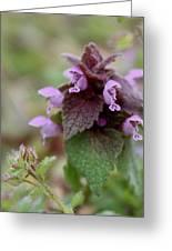 Purple Deadnettle Bloom Greeting Card
