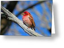 Purple Finch In Spring Greeting Card