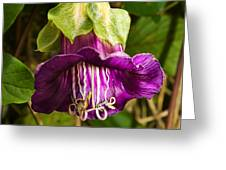 Purple Flower Of The Vine Known As Cathedral Bells Greeting Card