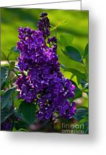 Purple French Lilac Greeting Card