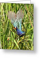 Purple Gallinule In Flight Greeting Card