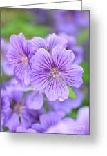 Purple Geranium Greeting Card