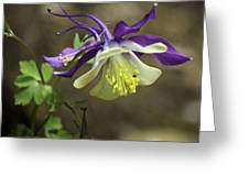 Purple Harlequin Columbine Greeting Card
