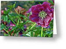 Purple Hellebore Greeting Card by Kami McKeon