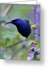 Purple Honeycreeper Greeting Card