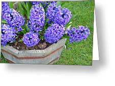 Purple Hyacinth Flowers Planter Greeting Card